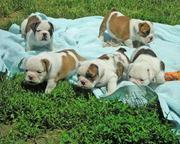 крошечные Teacup Английский бульдог щенки